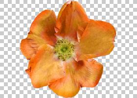 独角兽剪贴画,桃子,花,橙色,标尺,象科,独角兽,长颈鹿,花瓣,4月8图片