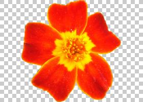 橙花,橙色,植物,测量单位,演播室,百合,动画,博客,花瓣,花,