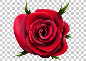 族的图形,红色,花卉,情人节,花瓣,切花,关门,花卉设计,玫瑰秩序,