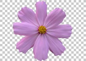 紫玫瑰,草本植物,洋红色,紫罗兰,一年生植物,花园宇宙,梅洛家族,