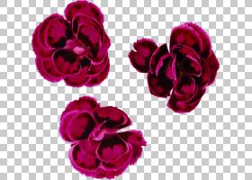 红色水彩花,草本植物,粉红色家庭,洋红色,康乃馨,紫色,玫瑰秩序,图片