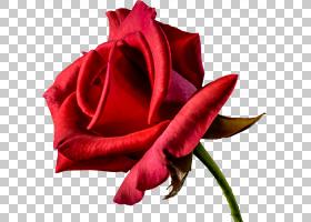 背景家庭日,红色,花卉,洋红色,蔷薇,切花,种子植物,玫瑰秩序,玫瑰图片