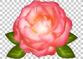 粉红色花卡通,蔷薇,花瓣,floribunda,山茶科,日本山茶,山茶花,玫