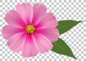 花卉剪贴画背景,草本植物,一年生植物,洋红色,大丽花,雏菊家庭,宇