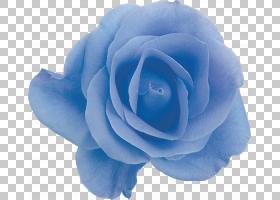 花卉剪贴画背景,蔷薇,玫瑰秩序,玫瑰家族,植物,玫瑰,水,Ipomoea N