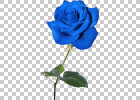 花卉剪贴画背景,蔷薇,电蓝,玫瑰秩序,玫瑰家族,钴蓝,玫瑰,花瓣,天