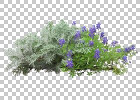 花卉剪贴画背景,迷迭香,切花,分支,植物群,亚灌木,薰衣草,树,卢平