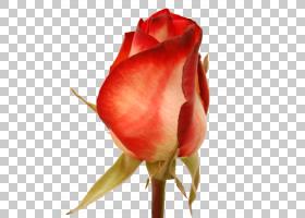 花卉剪贴画背景,马兜铃(Hippeastrum),中国玫瑰,蔷薇,静物摄影,桃