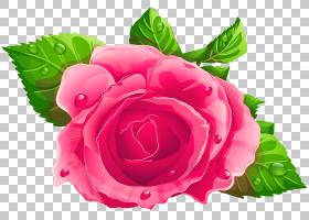 花卉背景自由,花卉设计,花束,洋红色,蔷薇,花瓣,floribunda,切花,图片