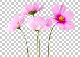 花卉背景,洋红色,一年生植物,宇宙,野花,植物茎,切花,花卉设计,草图片