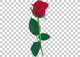 黑玫瑰绘画,红色,洋红色,植物茎,种子植物,植物群,蔷薇,玫瑰秩序,图片
