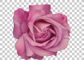 黑白花,粉红色家庭,中国玫瑰,洋红色,floribunda,切花,丁香,蔷薇,图片
