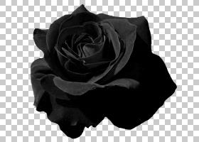 黑白花,黑白,黑色,玫瑰家族,玫瑰秩序,白色,颜色,美容院,植物,客图片