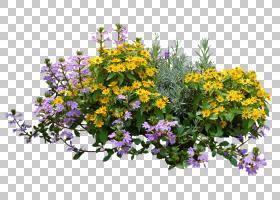 家谱设计,花卉设计,一年生植物,草药,切花,野花,紫罗兰家族,春天,