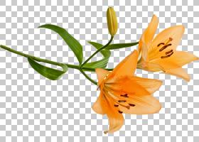 百合花卡通,飞蛾与蝴蝶,传粉者,蝴蝶,昆虫,莉莉,百合,植物,花束,图片