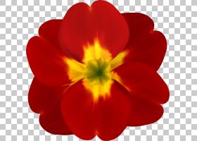 春花,报春花,橙色,眼睛,洋红色,植物,草本植物,报春花,花瓣,一年图片
