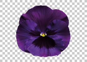 粉红色花卡通,洋红色,中提琴,紫罗兰家族,花瓣,种子植物,植物,白图片