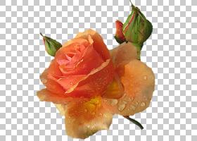 粉红色花卡通,静物摄影,floribunda,桃子,花瓣,玫瑰秩序,装饰,花,