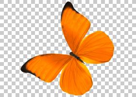 橙花,花,花瓣,刷脚蝴蝶,传粉者,昆虫,飞蛾与蝴蝶,研究,文化,劳动图片