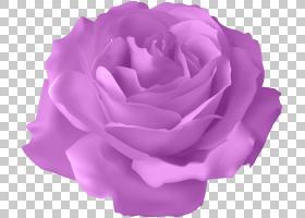 粉红色花卡通,洋红色,蔷薇,紫罗兰,切花,花瓣,薰衣草,玫瑰秩序,玫图片