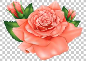 粉红色花卉背景,花卉,花束,粉红色家庭,插花,切花,floribunda,蔷图片