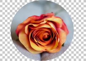花卉剪贴画背景,桃子,关门,玫瑰秩序,橙色,玫瑰家族,头盔,Faceboo图片
