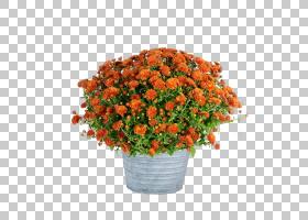 花卉剪贴画背景,植物,橙色,一年生植物,灌木,菊花,人造花,花,花盆图片