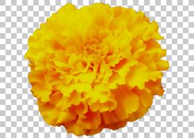 花卉剪贴画背景,绒球,万寿菊,切花,植物,花瓣,花,橙色,英国万寿菊图片