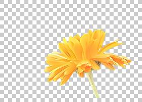 花卉剪贴画背景,野花,播蓟,花粉,菊花,巴伯顿黛西,雏菊家庭,植物,图片