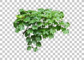 棕榈叶,常春藤,草,常春藤家族,分支,地被,草药,槟榔,[医]丁香花,