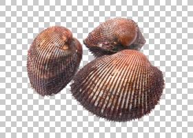 寿司卡通,贝壳学,扇贝,血蛤,贝类动物,泥鳅(Tegillarca Grranosa)