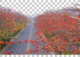 秋季树枝,秋季,灌木,叶,植物,土豆科,Bombax,广州,分支,红色,棉花
