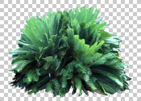 绿叶背景,叶菜,维管植物,草药,木本植物,林下,热带,绿化带,霍莉,