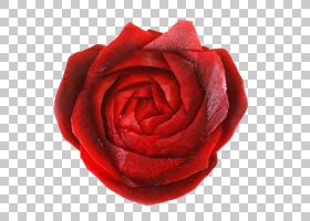 花卉剪贴画背景,红色,小叶月季,花瓣,切花,近距离观察,玫瑰花订单