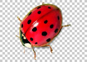 瓢虫,水果,甲虫,瓢虫,昆虫,文件大小,兆字节,数据压缩,七星瓢虫,