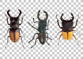 甲虫类昆虫,犀牛甲虫,鹿角,害虫,昆虫,蜻蜓,线条艺术,海棠(Phalac