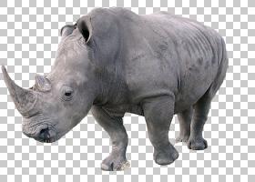 3D背景,动物形象,鼻部,野生动物,犀牛3D,喇叭,白犀牛,犀牛,