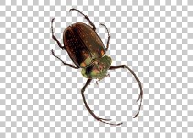 昆虫象甲,甲虫,圣甲虫,图表,元素,害虫,真正的臭虫,相位体,象虫,