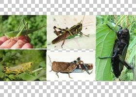 河流卡通,蟋蟀般的昆虫,板球,亚利桑那州,昆虫,生态系统,害虫,沙图片