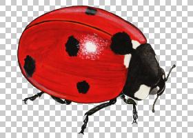 瓢虫,昆虫,瓢虫属,瓢虫,虫害防治,CDR,阿达莉亚,害虫,电子加速器(