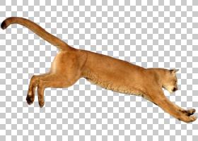 狮子卡通,动物形象,猫,,野生动物,彪马,动物,老虎,狮子,美洲狮,图片
