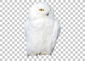 猫头鹰卡通,白色,猛禽,博客,布拉德齐德,可能,喙,昆虫,天鹅座,鸟,