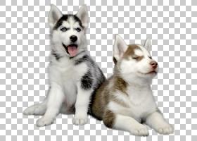 卡通狗,格陵兰狗,雪橇狗,西西伯利亚莱卡,库页岛哈士奇,东西伯利图片