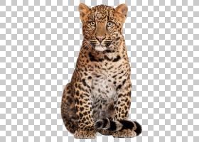 卡通猫,胡须,猎豹,章鱼,鼻部,捷豹,毛发,野生动物,黑豹,豹猫,雪豹