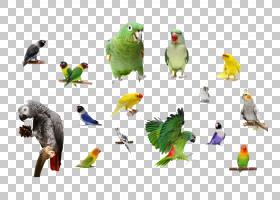 鸟鹦鹉,喙,鹦鹉,佩里科,相爱的小鸟,巨嘴鸟,鸟类迁徙,孔雀,鹰,动图片