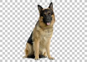狗和猫,牧羊王,昆明狼犬,Tervuren,夏洛牧羊犬,德国狼犬,老德国牧