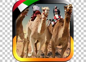 3D背景,牲畜,骆驼般的哺乳动物,阿拉伯骆驼,骆驼,运动,游戏,安卓