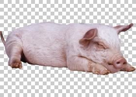 猪卡通,动物形象,猪耳,鼻部,牲畜,野生动物,猪和猪,猪,事件取消,