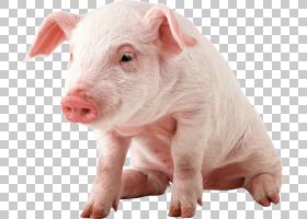 猪卡通,猪,猪耳,鼻部,牲畜,野猪,