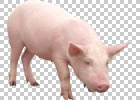 猪卡通,猪,猪耳,鼻部,牲畜,野猪,猪和猪,